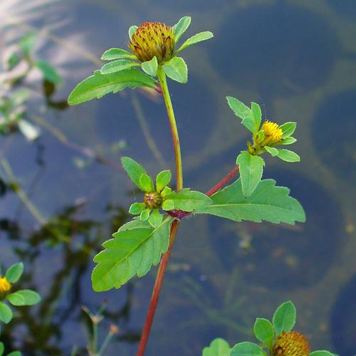 Trifid Bur-marigold